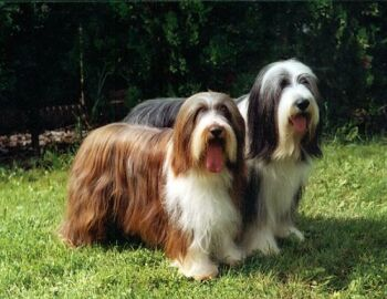 http://www.cz-pes.cz/atlas/bearded-collie/cora_rony.jpg