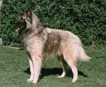 Belgický ovčák Tervueren