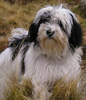 Havanský psík - Bichon Havanais
