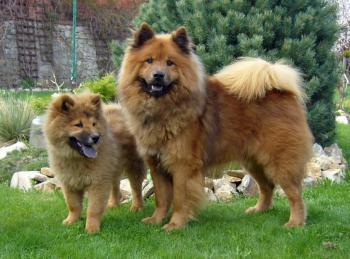 Eurasier Dog Colors Sable Pinterest Eurasier