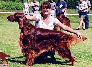 Irský setr - Irish Red Setter