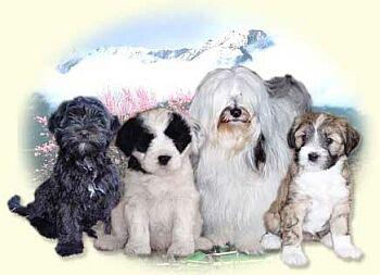 Tibetský teriér - Tibetan Terrier