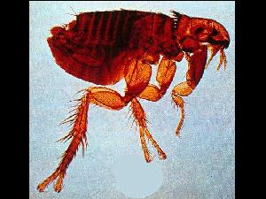 Blecha psí - Ctenocephalides canis