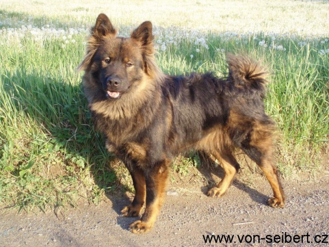 Eurasier - Berry2