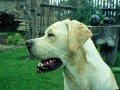 Labrador Retriever II.
