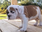 13 weeks english bulldog puppies available for adoption.both male and female available.they are beautiful and playful and always play with  other pets like cats and rabbits