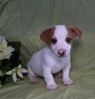Aimer Jack Russell Terrier Chiots
