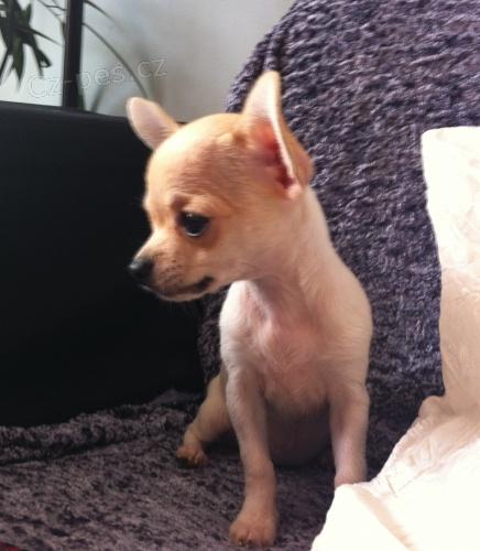 Ztratilo se štěně čivavy - S.O.S. Pes bfe6286f56