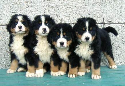 Bernský salašnický pes -
