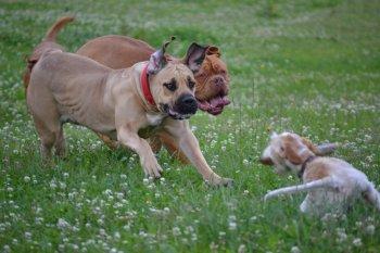 Sraz příznivců bordeauxských dog