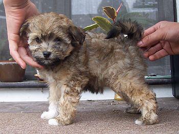 Barevný boloňský psík - Tsvetnaya Bolonka