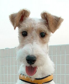 Fox Terrier dog breed ...