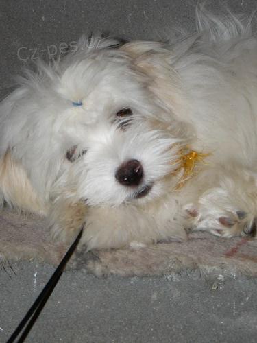 Havanský psík (bišonek) - úžasný mazlíček s PP - Detail inzerátu 9853e76db8
