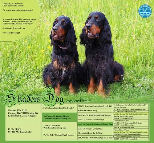 gordon setr štěňata s PP - gordon setter puppies - Detail inzerátu c04492a05d